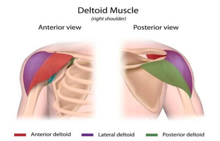 The Anatomy Of Deltoids