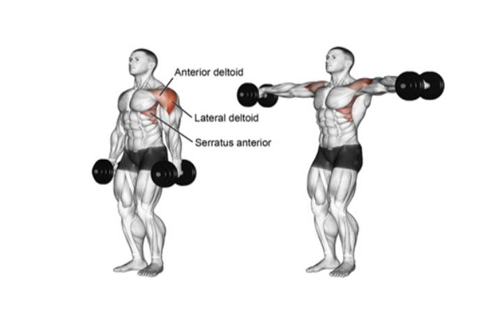 The Lateral Deltoid